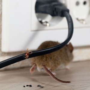 O custo invisível dos roedores dentro da granja!