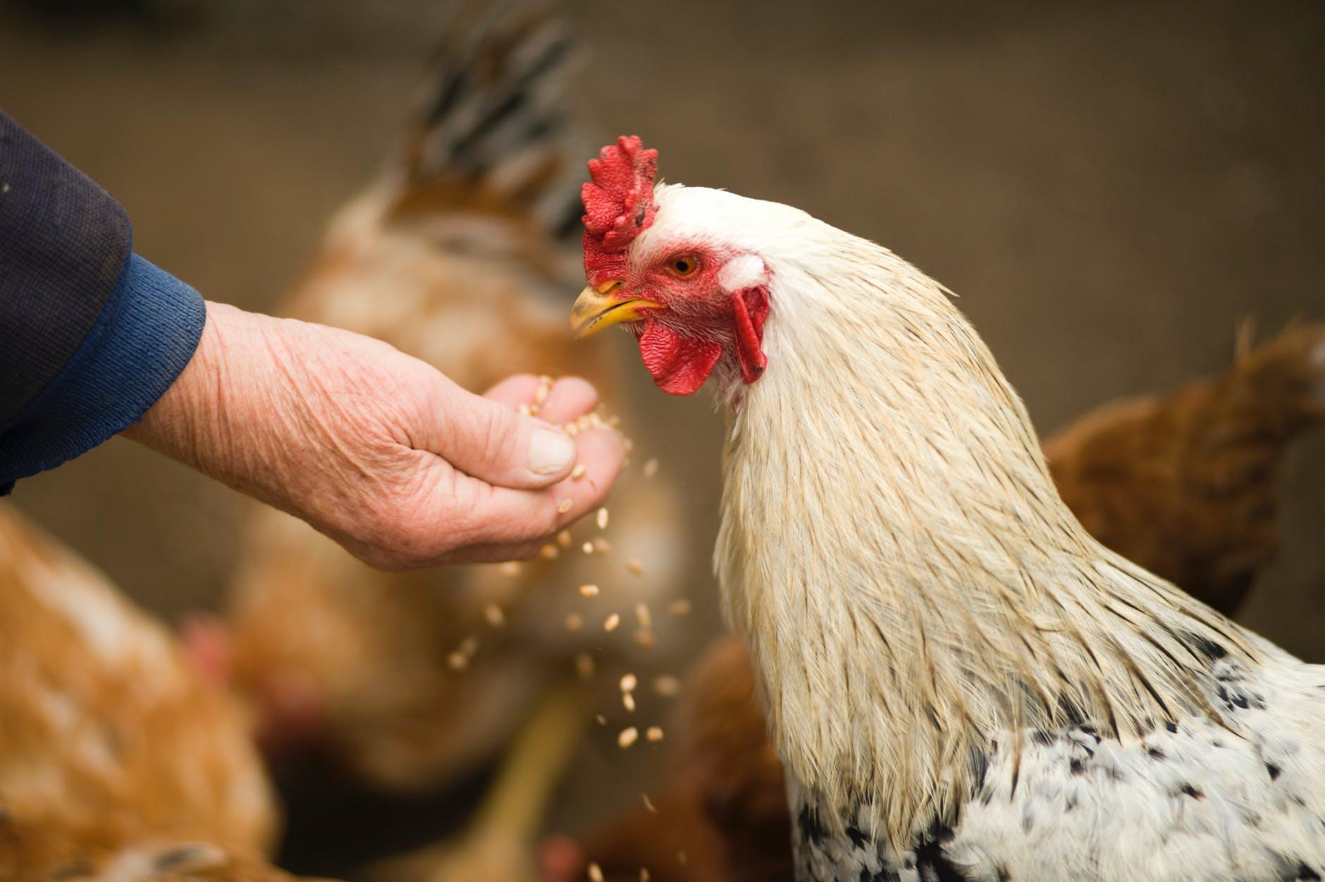 Água contaminada em granjas de postura - Como resolver