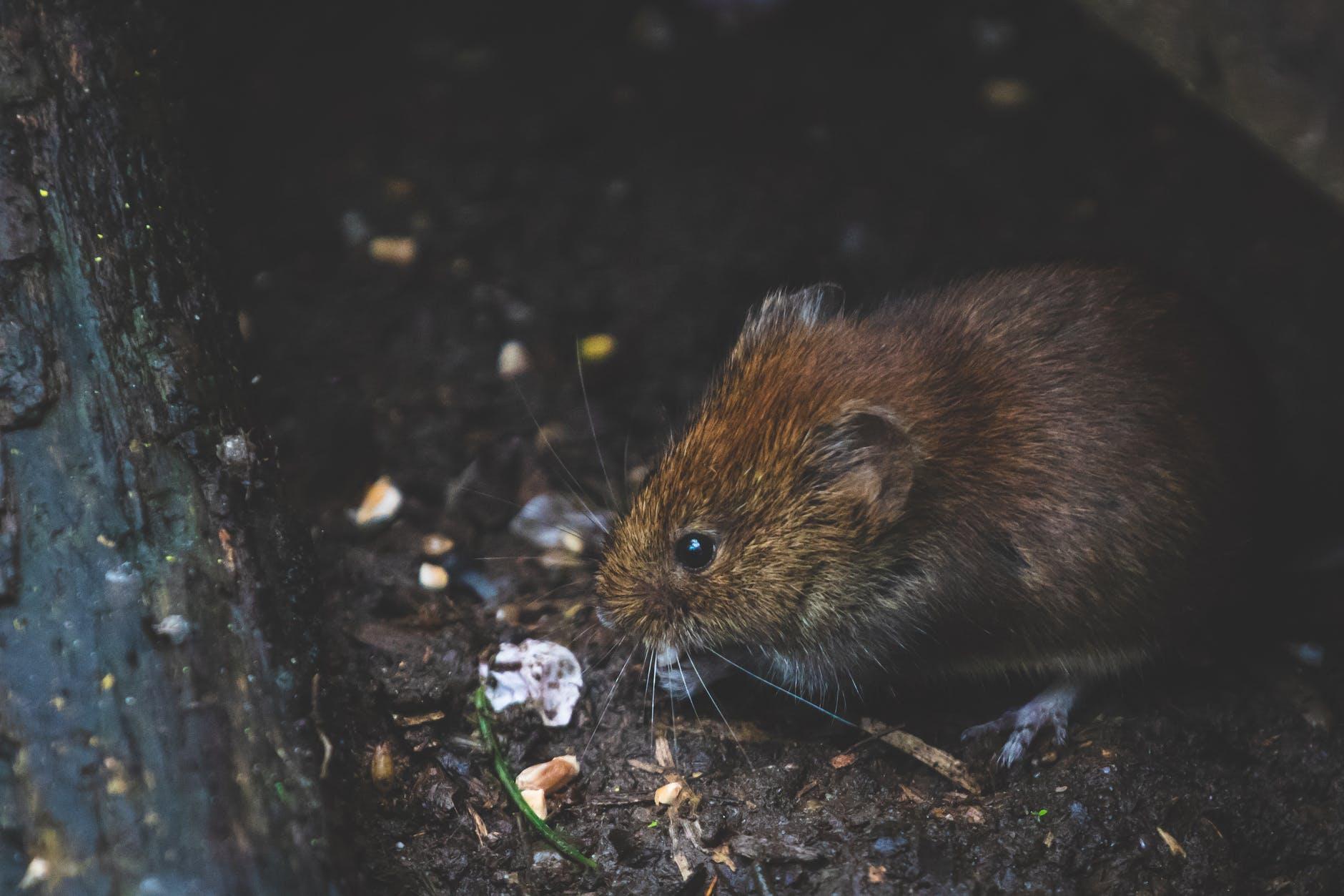 Como BAIXAR a infestação de roedores na granja2